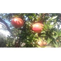 Melograno frutto del Cilento autunnale kg1